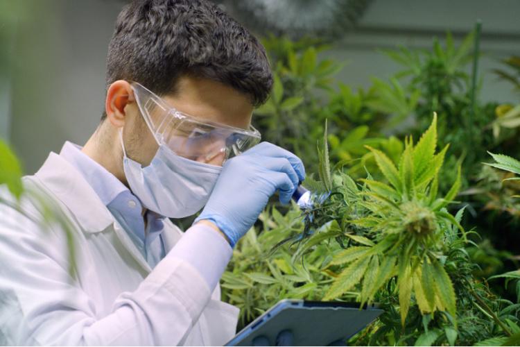 cannabis and cancer 2